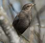 _dsc0311[482][2048] (brewer's blackbird)